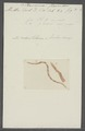 Planaria flaccida - - Print - Iconographia Zoologica - Special Collections University of Amsterdam - UBAINV0274 105 09 0030.tif