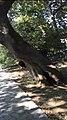 Plane tree located in Karyes, Laconia.jpg