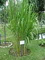 Planta de Caña Brava en el Jardín Botánico de Lima.jpg