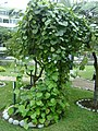 Planta de Curare en el Jardín Botánico de Lima.jpg