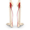 Plantaris muscle - posterior view.png