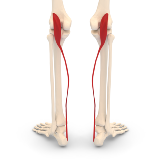 Plantaris muscle One of the superficial muscles of the superficial posterior compartment of the leg,