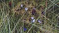 Plebejus idas - Idas blue - Голубянка идас (48127282751).jpg