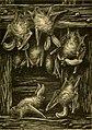Plecotus auritus illustration.jpg