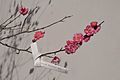 Plum blossoms and Sacred lot.JPG