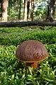 Podgrzybek brunatny wisnia6522.JPG