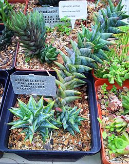 <i>Astroloba rubriflora</i> Species of flowering plant