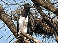 Polemaetus bellicosus -Masai Mara-8.jpg