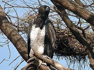Martial eagle - In Maasai Mara, Kenya