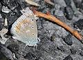 Polyommatus dorylas - Turquoise Blue butterfly.jpg