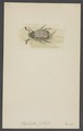 Polyphylla - Print - Iconographia Zoologica - Special Collections University of Amsterdam - UBAINV0274 001 05 0052.tif