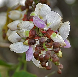 Millettia pinnata - Flowers