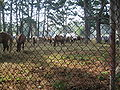 Pony Penning 2008 in Chincoteague 001.jpg