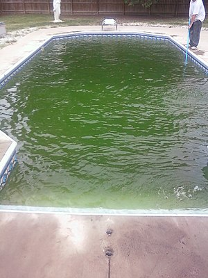 Algae that has taken over the water in a pool.