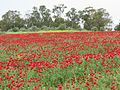 Poppies in Kfar Nin, Israel 03.jpg
