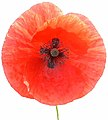 Poppy-closeup.jpg