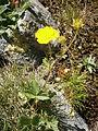Potentilla grandiflora 001.jpg