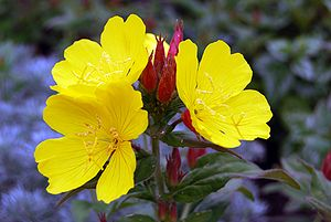 English: Yellow evening primrose