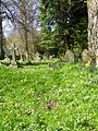 Primroses in the churchyard, Longhirst (geograph 2578074).jpg
