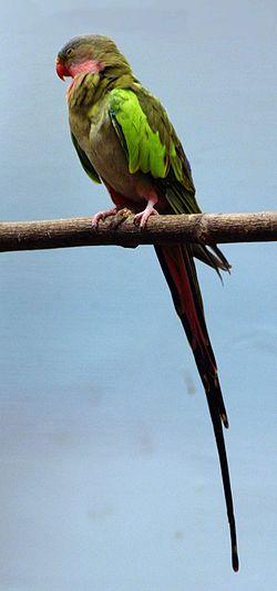 Polytelis Alexandrae o Perico Princesa 250px-Princess_Parrot_%28Buffalo_Zoo%29