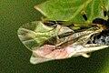 Pristiphora.geniculata9.-.lindsey.jpg
