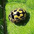 Propylea quatuordecimpunctata 132574954.jpg