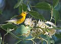 Prothonotary Warbler (15476570049).jpg