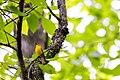 Prothonotary warbler (27555108116).jpg