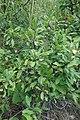 Prunus spinosa, Rosaceae 05.jpg