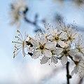 Prunus spinosa-Prunellier-Étamines-20190318.jpg