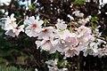 Prunus subhirtella Autumnalis 10zz.jpg