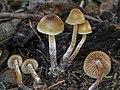 Psilocybe pelliculosa (A.H. Sm.) Singer & A.H. Sm 487596 crop.jpg