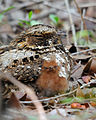 Puerto Rican nightjar with chick.jpg
