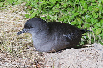 Short-tailed shearwater - Adult near Burrow on Bruny Island. The photograph was taken at night.