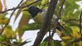Purple-rumped Sunbird (Leptocoma zeylonica) at Madhurawada 02.jpg