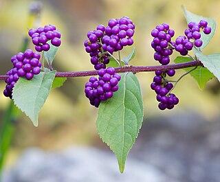 <i>Callicarpa</i> genus of plants