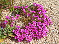 Purplemat (Nama demissum); Pinto Basin (12525801833).jpg