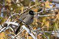 Pycnonotus xanthopygos - Yellow-vented Bulbul, Adana 2016-12-25 03-3.jpg