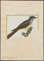Pyrocephalus crinitus - 1700-1880 - Print - Iconographia Zoologica - Special Collections University of Amsterdam - UBA01 IZ16500349.tif