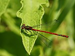 ♂ Large red damselfly at the Leiemeersen in Oostkamp, Belgium.