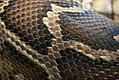 Python molurus 4zz.jpg