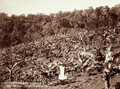 Queensland State Archives 2395 Young bananas at Simpsons Farm Blackall Range c 1899.png