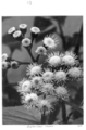 Queensland State Archives 4285 Crofton weed flowers 1950.png