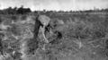 Queensland State Archives 4371 Picking and bagging in the peanut industry December 1927.png