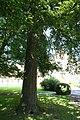 Quercus cerris JPG1a.jpg