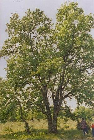 Quercus faginea - Image: Quercus faginea centenario