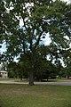 Quercus laevis (23567258884).jpg