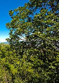 Quercus macranthera Tbilisi