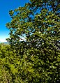 Quercus macranthera Tbilisi.jpg