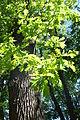 Quercus petraea - City Park in Lučenec (3).jpg